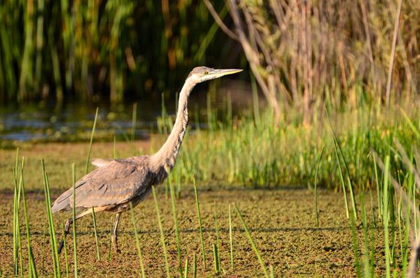 Community Plan Heron-in-Ballona-Creek-Wetlands-Dave-Voss